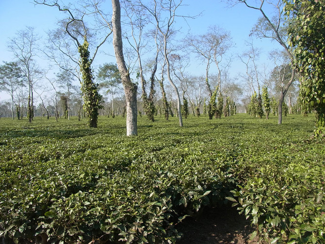 An Assam Green Tea Experience