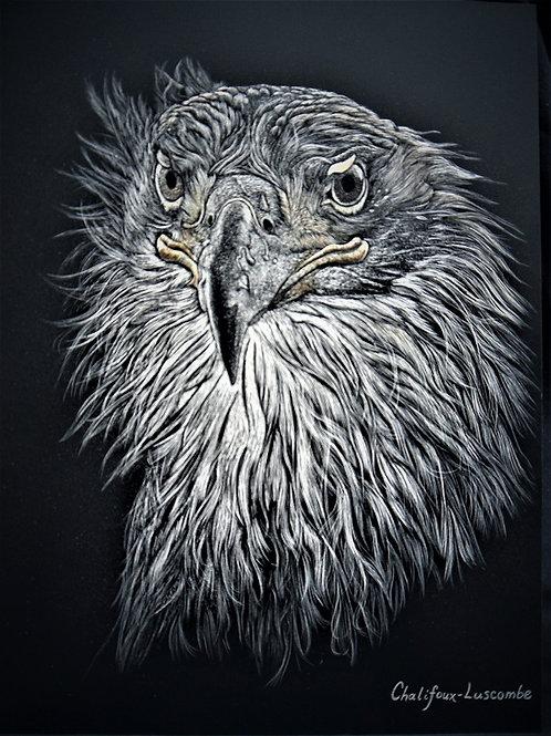 """""""Immature Bald Eagle"""""""
