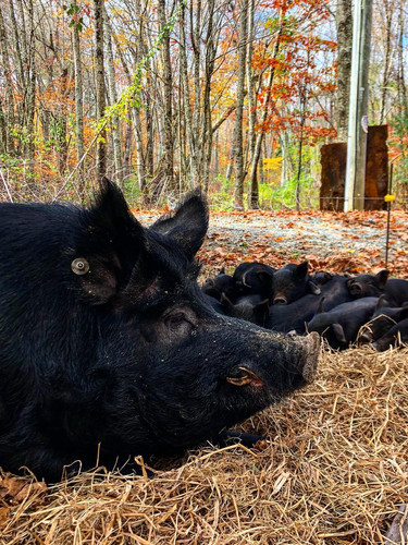 Bacchus - Registered American Mulefoot Boar with his babies