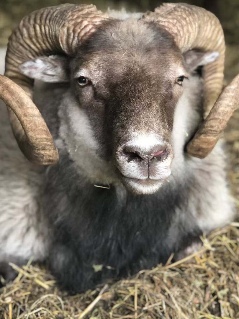 One of our former Icelandic Rams