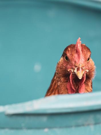 Meat Chicken in the Grain Barrel
