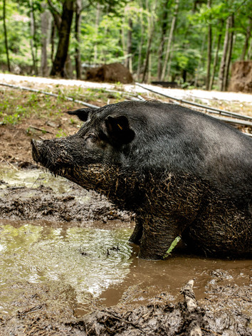 Bacchus wallowing in the mud in the middle of summer 2020