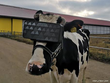 تأثير الواقع الإفتراضي على البقر