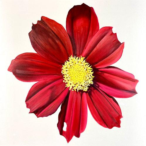 Red Velvet Coreopsis