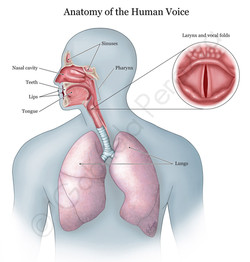 Anatomy of the Human Voice
