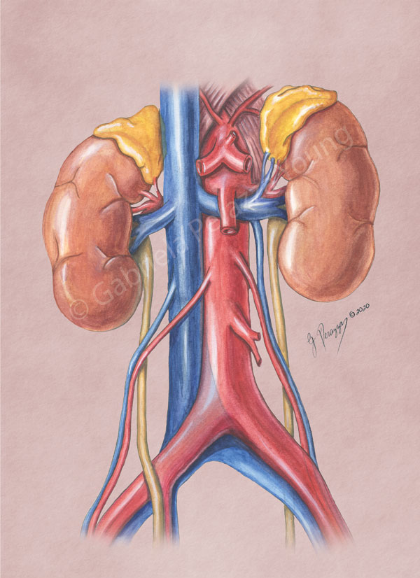 Kidneys Watercolor
