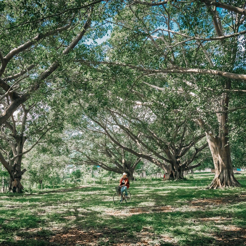 The aged Banyan Trees