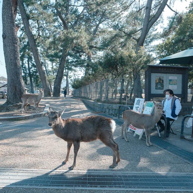 သမင်စာဆိုင်တချို့က သူတို့ကို ဓာတ်ပုံရိုက်ရင် မကြိုက်ကြဘူး သူတို့မှ မဟုတ်ဘူး ဂျပန်မှာ တော်တော်များများက အဲ့လို ဓာတ်ပုံအတင်းရိုက်တာကို သဘောမကျကြဘူး အာ့ကြောင့် မျက်နှာတွေ ပြန်ဝါးပေးရကြတယ်