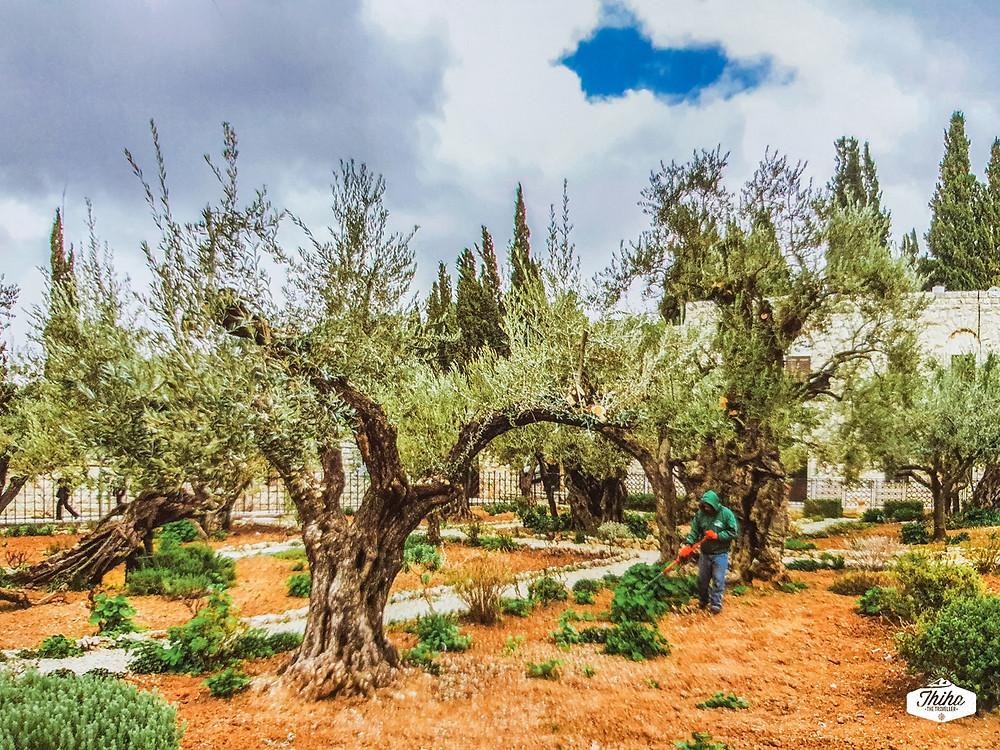 The Garden of Gethsemane, Jerusalem