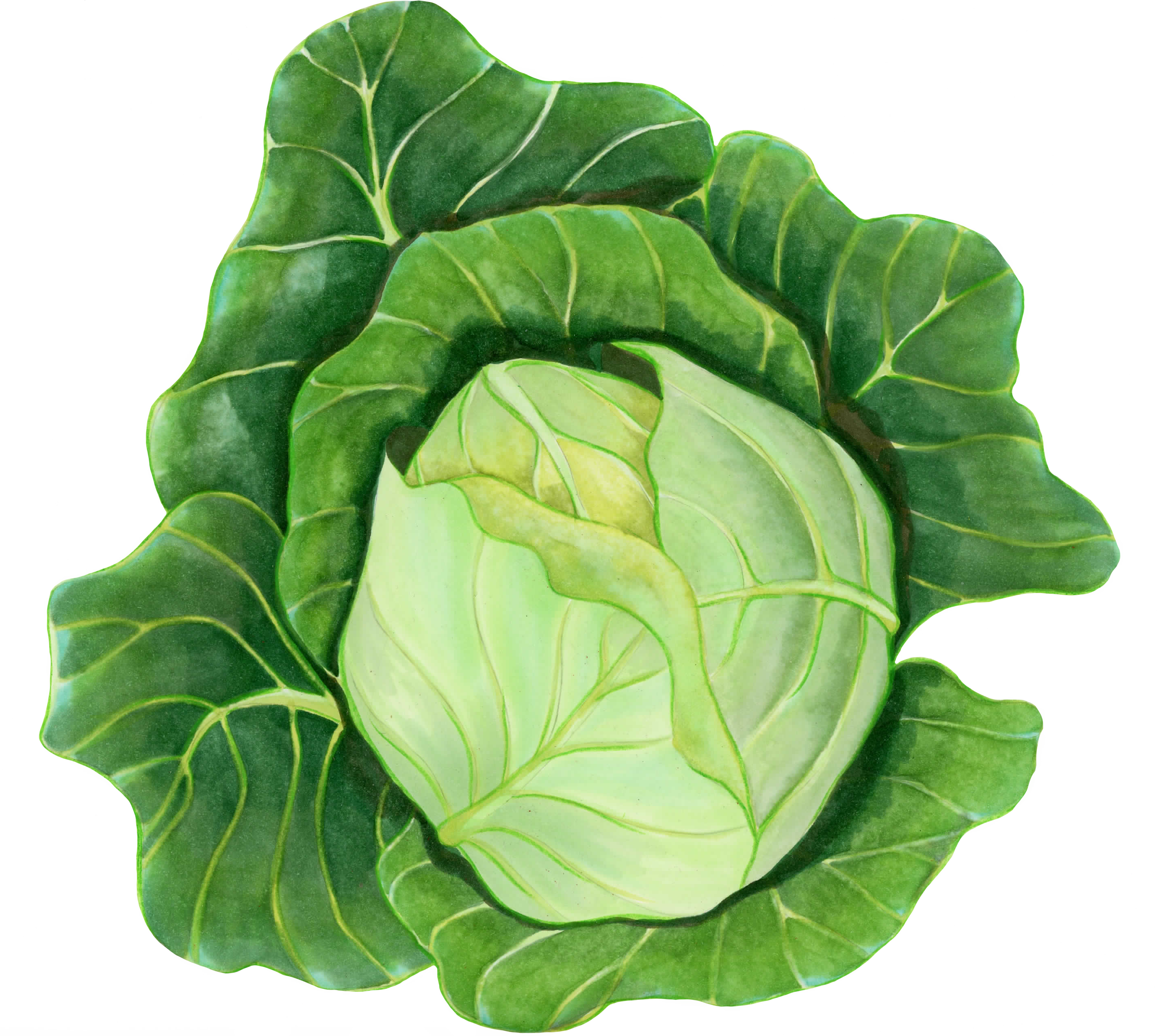 Cabbage, Early Jersey