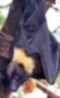 Mariana Fruit Bat.jpg