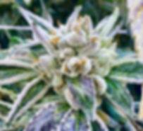 'Triangle Kush Closeup' (2)_edited.jpg