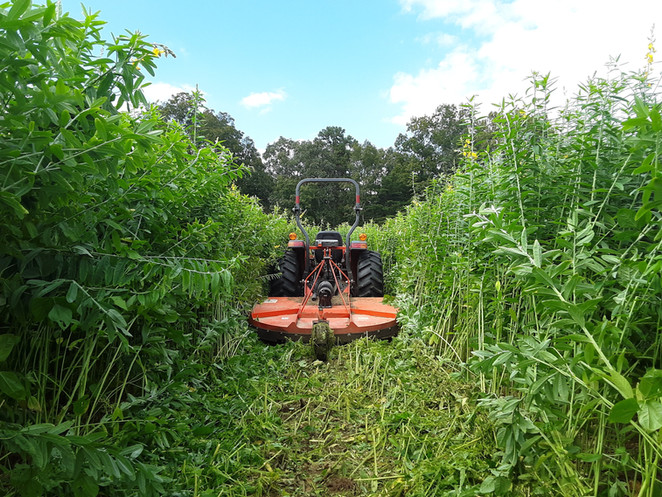 Mowing Sunn Hemp