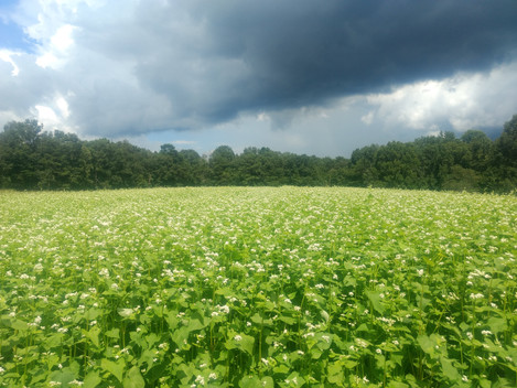 Buckwheat Cloud
