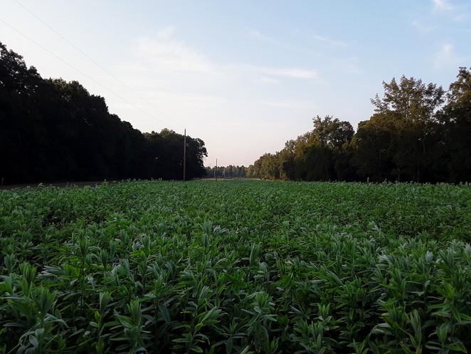 Sunn Hemp Field