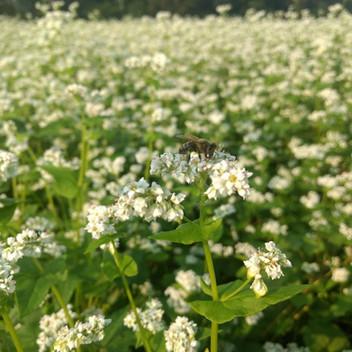Buckwheat Pollen