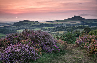 Heather at Roseberry Topping