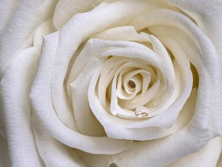 Still Life: The White Rose