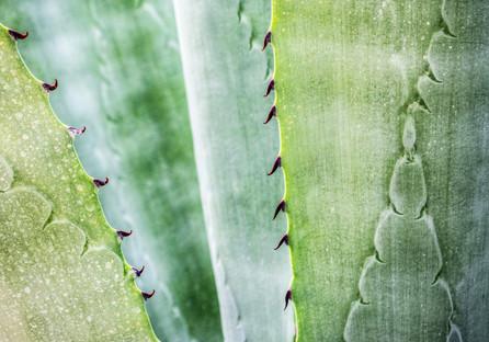 Desert_Yvette en vogue_Aloe vera growing
