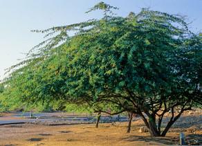 Растения Азербайджана, обогащающие почву азотом