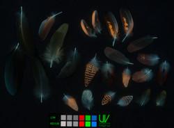 UV-vis, feathers