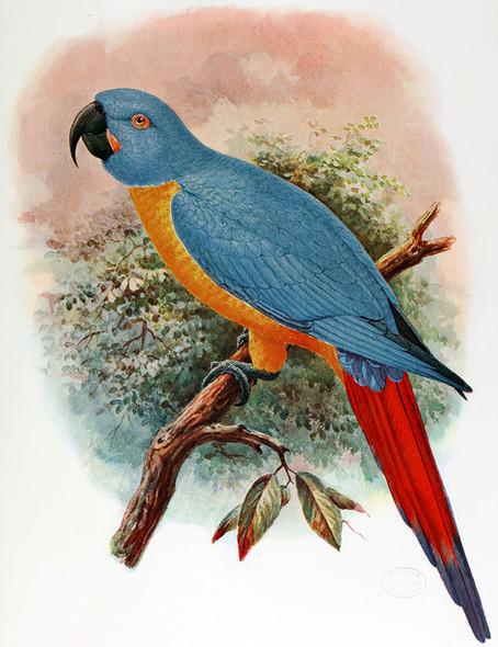 Red-tailed Macaw - Nicole Nigro
