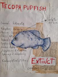 Tecopa Pupfish by Elena Mastracci - Italy
