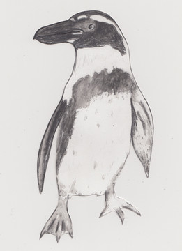 Galapagos Penguin by Chelsea Brown -  Seattle, Washington, USA