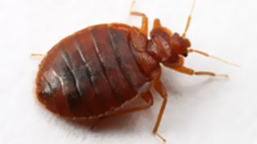Bed Bug Adult Male