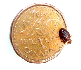 Size of a Bed Bug