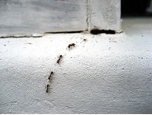 Ant Control | Discount Pest Control | Ant Exterminator