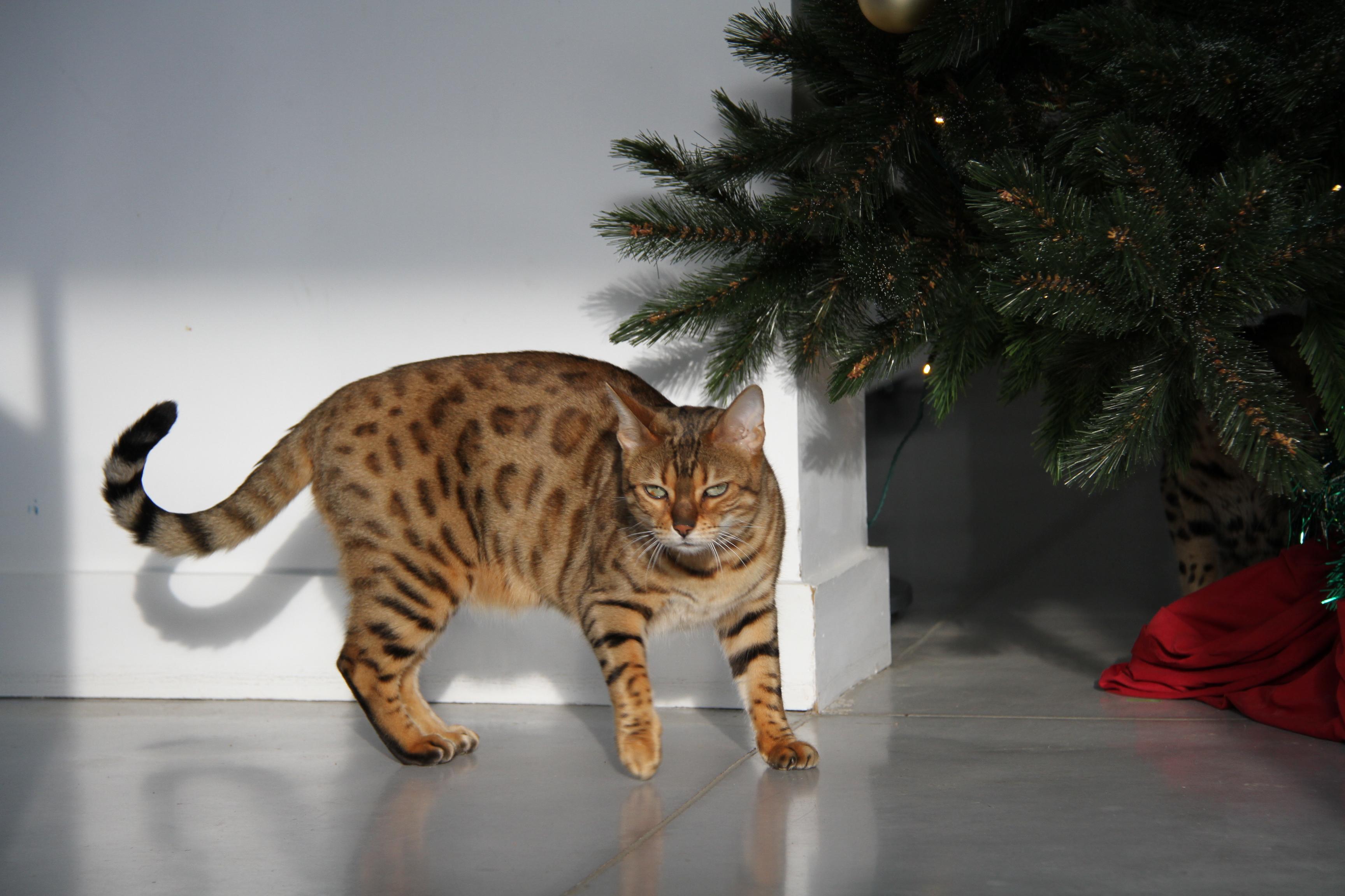 chats bengals de noël