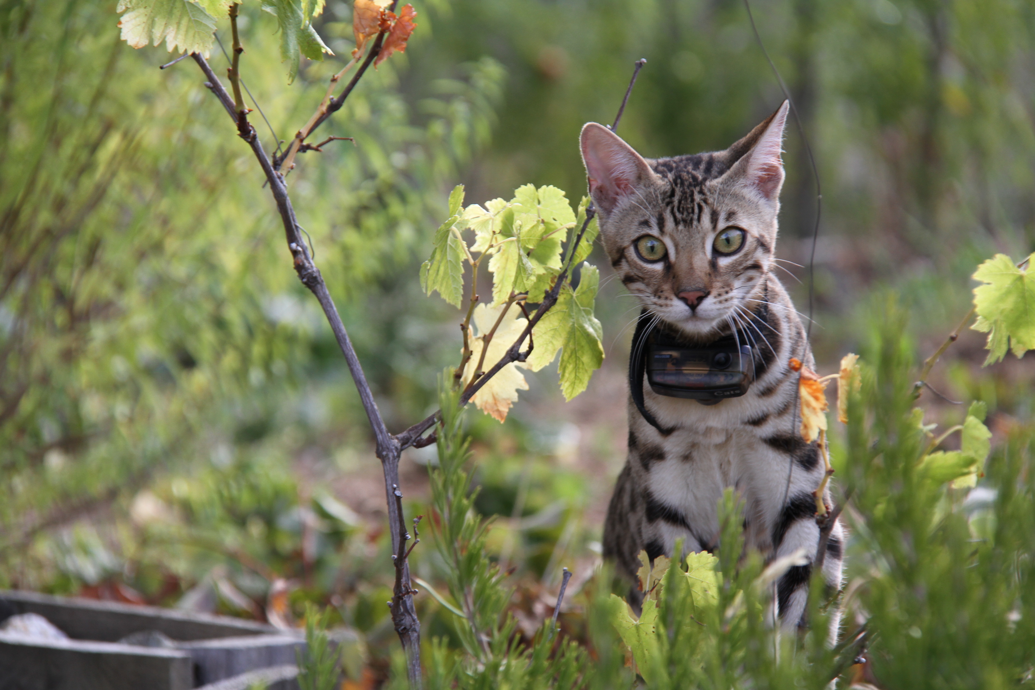 système anti-fugue chat