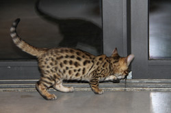 chaton bengal, chat léopard