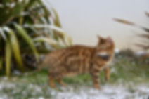 femelle bengal Hypnotic Bengal Jaipur d'Angonnes
