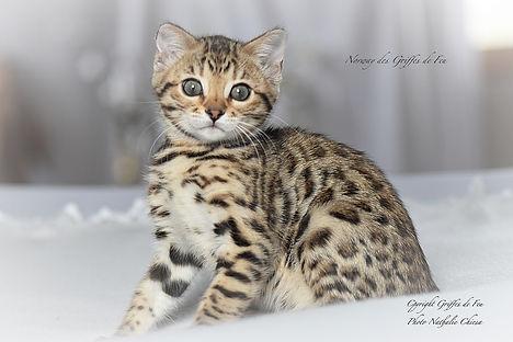 chaton bengal disponible à réserver