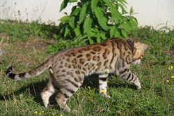 bengal brown froid