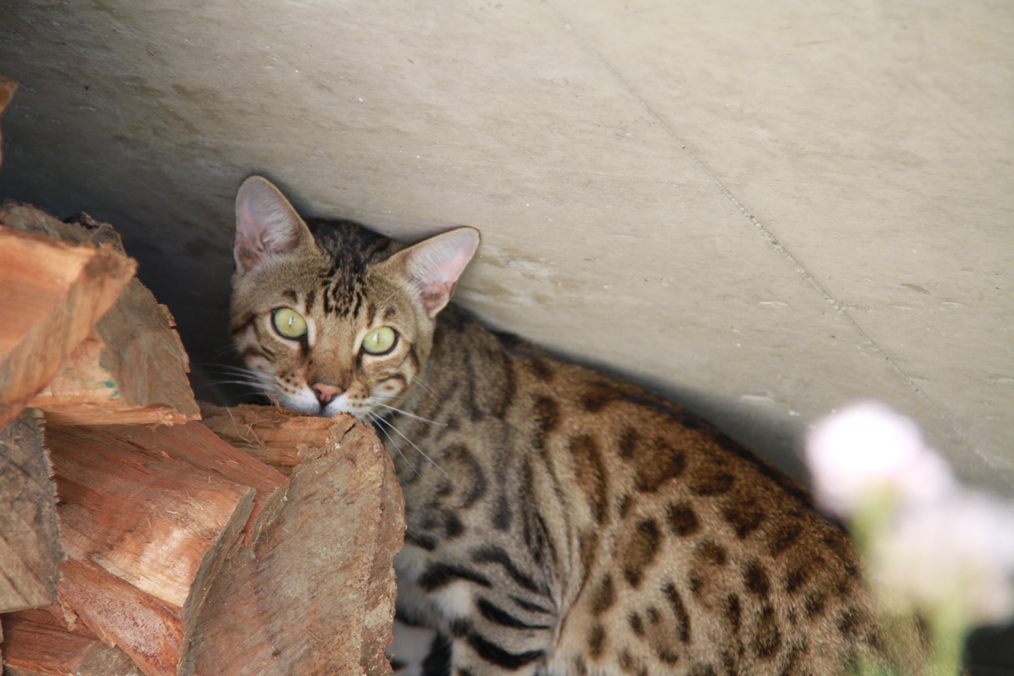 bengal look sauvage