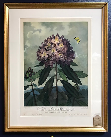 """""""The Pontic Rhododendron"""" by Dr. Thornton, Botanical Print"""