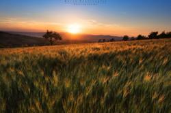Giovane grano in Val d'Orcia