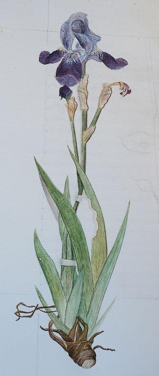 Schwertlilie.jpg