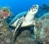 Hawks Bill Turtle West Palm Diving