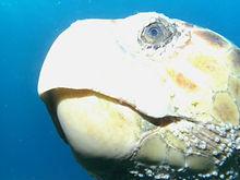 Loggerhead Turtle WPB Scuba