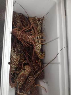 Mini Season Lobster Dives