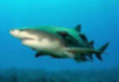Lemon Sharks West Palm Beach Scuba
