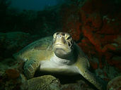 Green Turtle Dive Instruction
