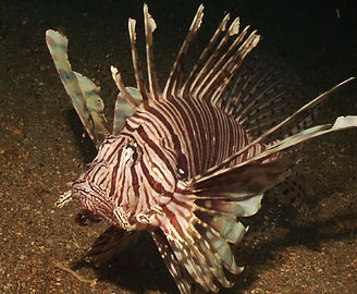 Lionfish Diving Sandy Sunday