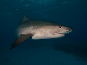 Tiger Shark Palm Beach Scuba