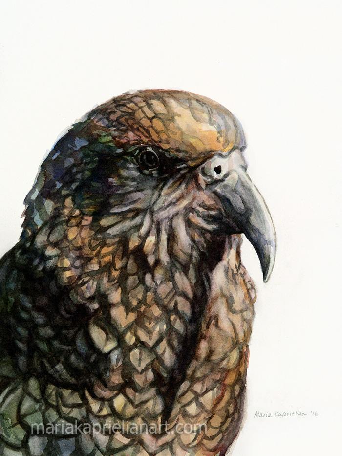 "Kea watercolor 16x12"""