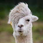 hipster-alpaca.jpg